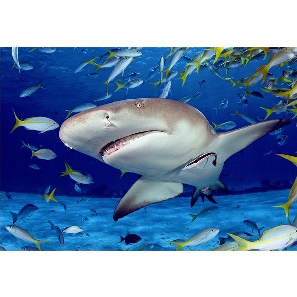 Puzzle 500 tiburon